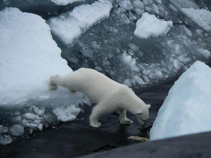 πολική αρκούδα2